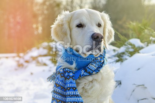 Handsome funny purebreed golden retriever dog knitted blue warm authentic style scarf tied around the neck.  Dog sitting outdoor on snow in park or forest. Pets care concept.