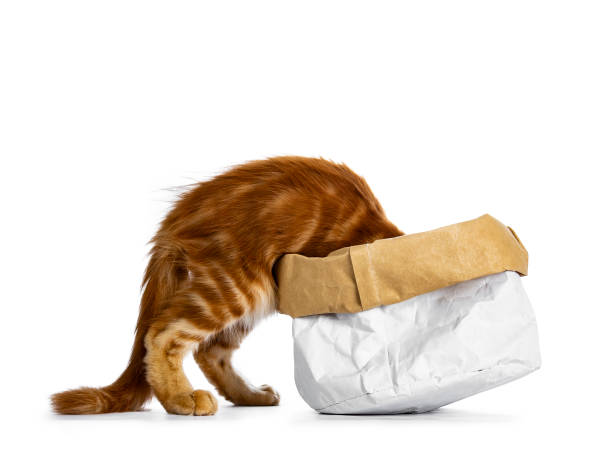 schöne lustige rote maine coon katze kätzchen im klettern / verschwinden / suche / suche nach etwas in eine papiertüte, isoliert auf weißem hintergrund - suche katze stock-fotos und bilder
