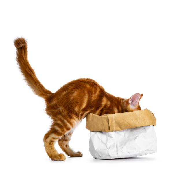 schöne lustige rote maine coon katze kätzchen im klettern / verschwinden / suche / auf der suche nach etwas in eine papiertüte, isoliert auf weißem hintergrund mit schweif heftig in luft - suche katze stock-fotos und bilder
