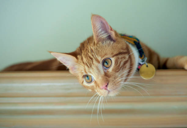 Handsome ginger tabby cat resting on a bookshelf. Young ginger red tabby cat with a gold medallion resting on top of a bookshelf. collar stock pictures, royalty-free photos & images