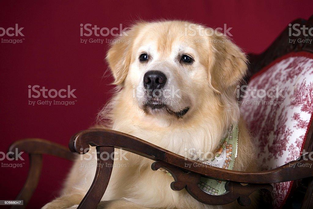 Handsome Hound royalty-free stock photo