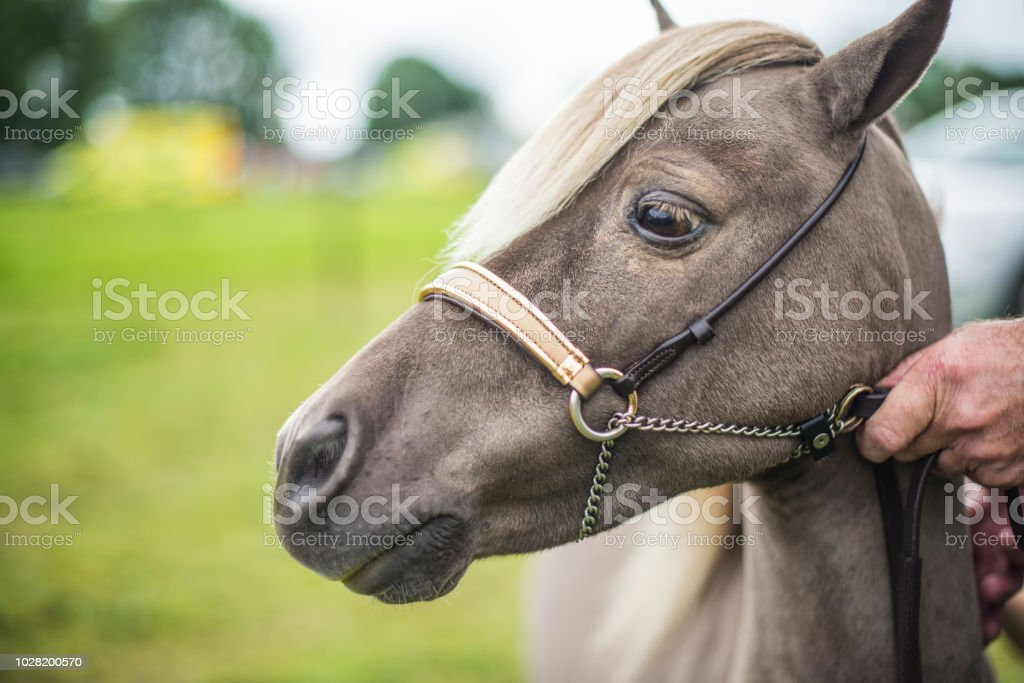 Handsome male pony with bridle hand held