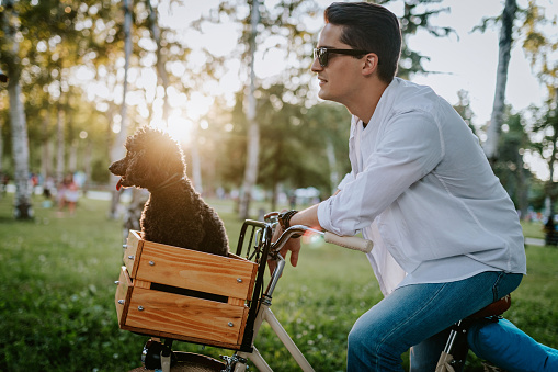 Cute little poodle dog in the basket of bicycle with the owner