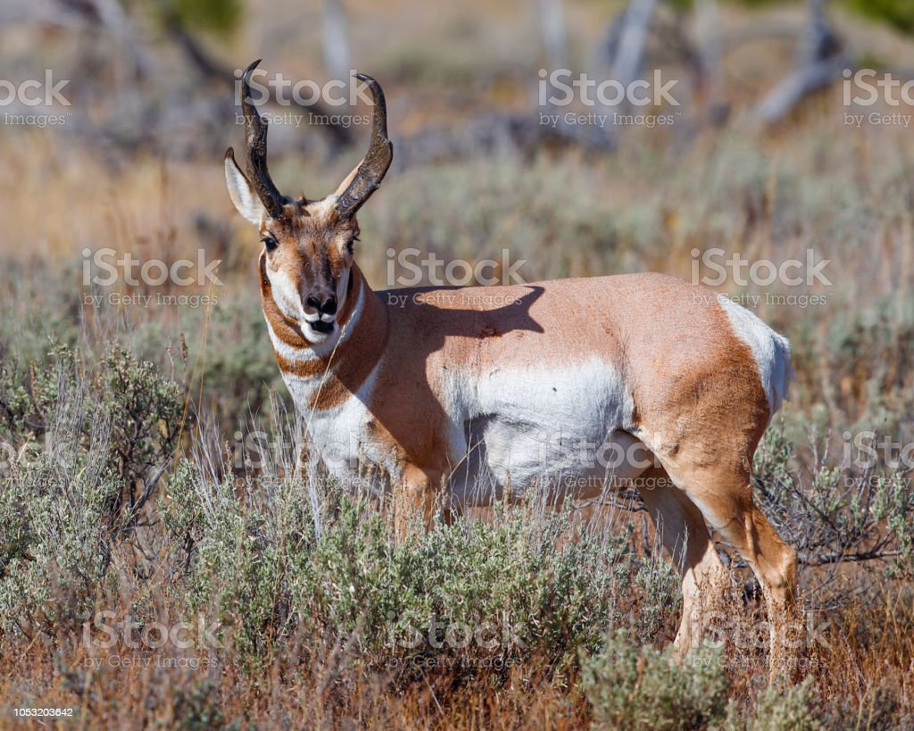 Handsome pronghorn buck stock photo