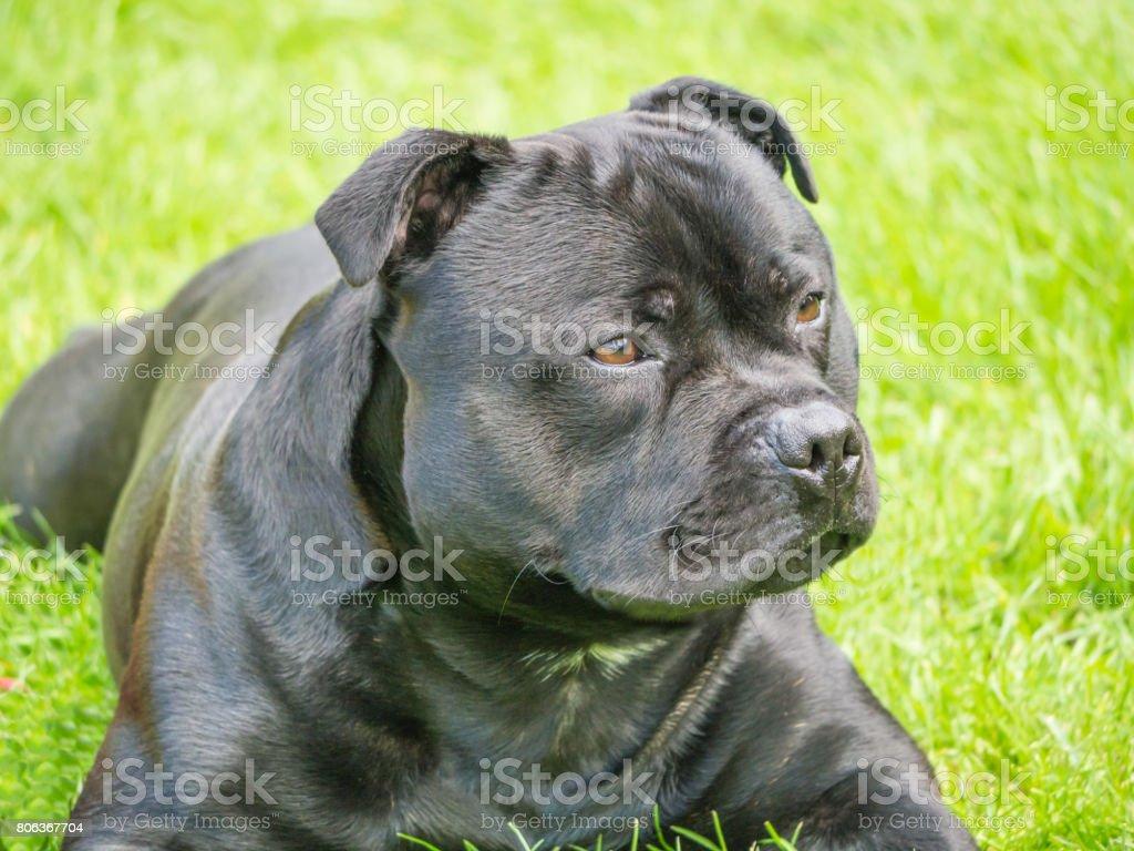 Handsome staffordshire bull terrier dog lying down outside stock photo