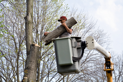 Tree worker cutting down large tree from bucket lift.
