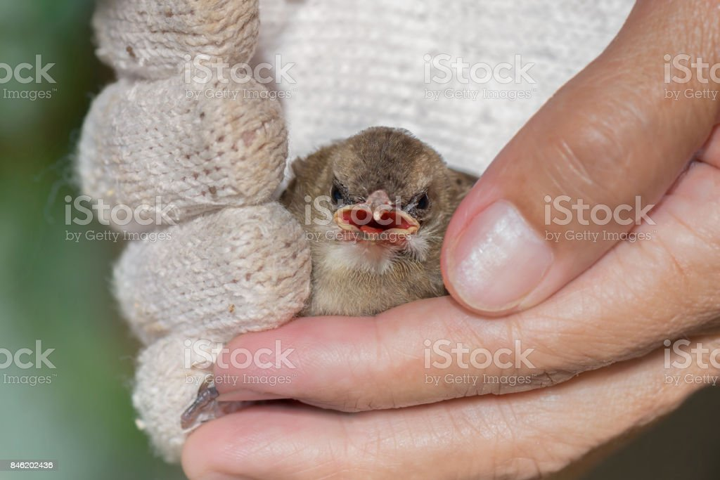 Fledgling bird, Yellow vented Bulbul in hand with glove to rescue...