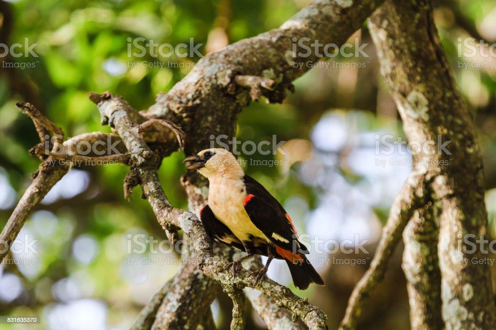 Hangbird on a tree. Tarangire, Tanzania stock photo