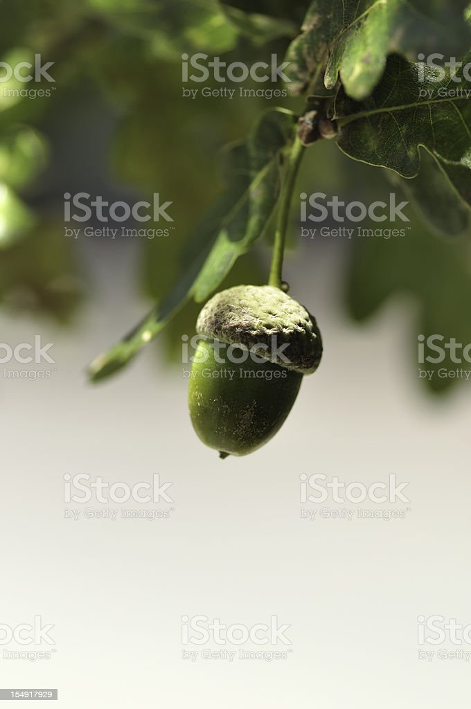 Hanging Acorn stock photo