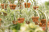 Intricate hanging air plants in West Palm Beach, Florida.