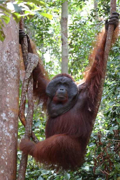 Hanging alpha male orangutan, Tanjung Puting National Park. stock photo