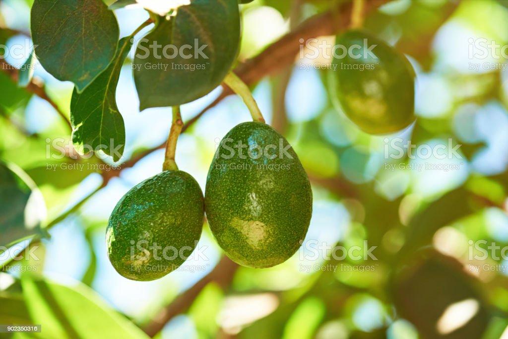 Hanging avocado fruits stock photo