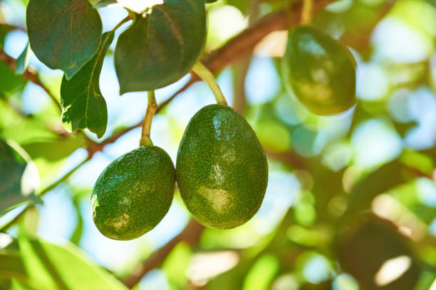 Hanging avocado fruits stock photo