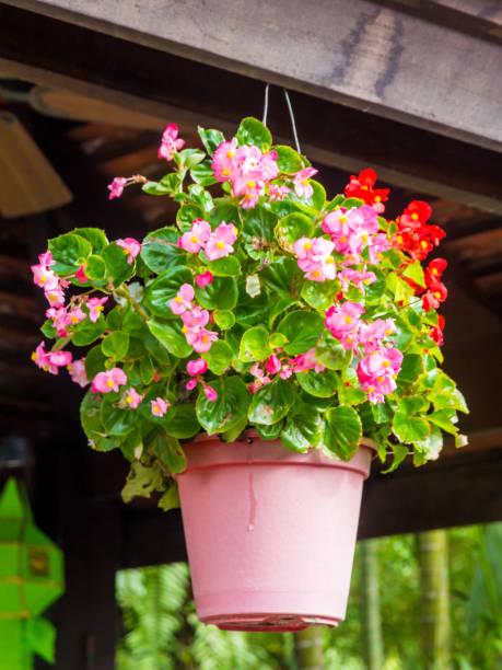 Hängende Korb von Begonia obliqua – Foto