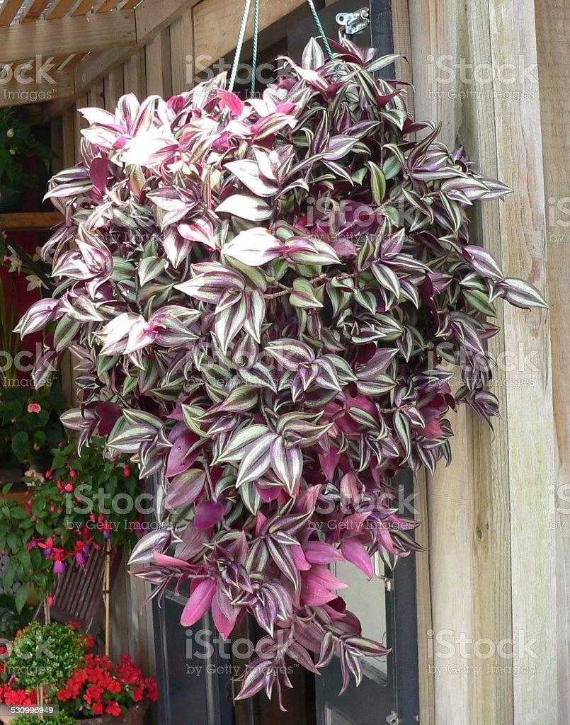 Hanging Basket of mauve Flowers.