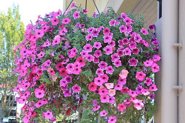 Blumenampel von petunias – Foto