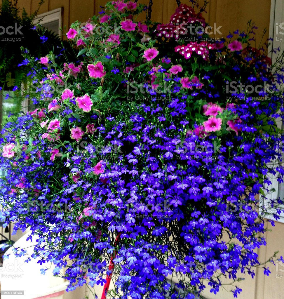 Hanging Basket of Proven Winners stock photo