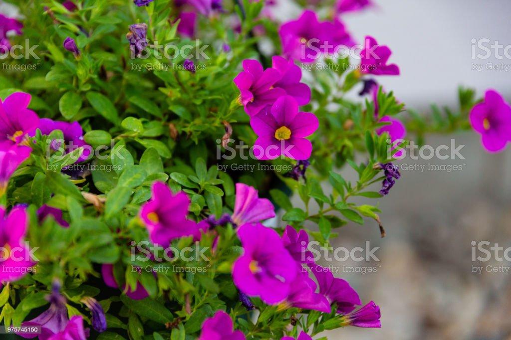 hängenden Korb mit kleinen lila Blüten im Morgengrauen - Lizenzfrei Blume Stock-Foto