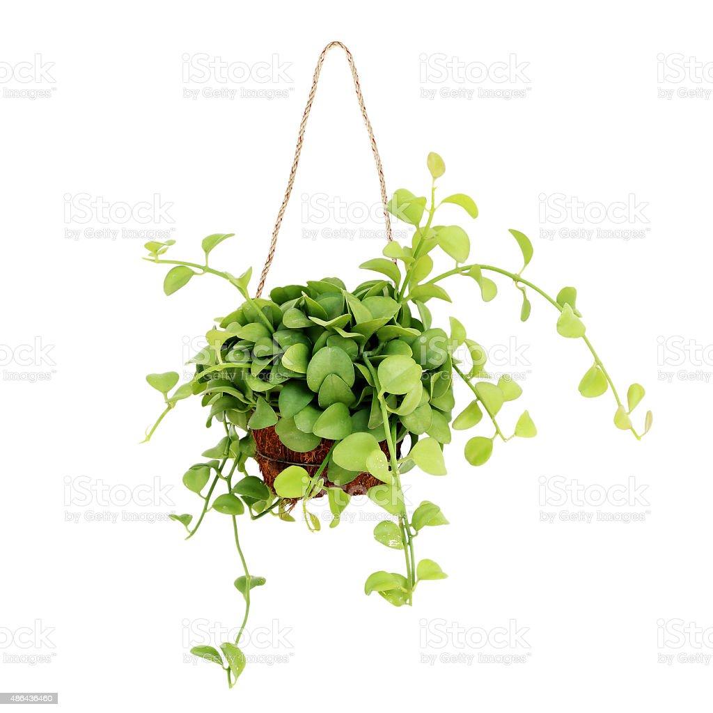 hanging basket plant isolated on white background stock photo