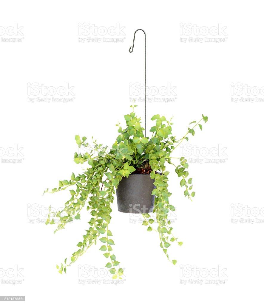 Blumenampel Pflanze isoliert auf weißem Hintergrund – Foto