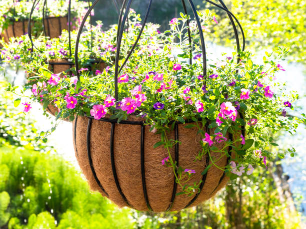 Hanging Baskets Pink Calibrachoa Flower Starts Coco-fiber Liner stock photo