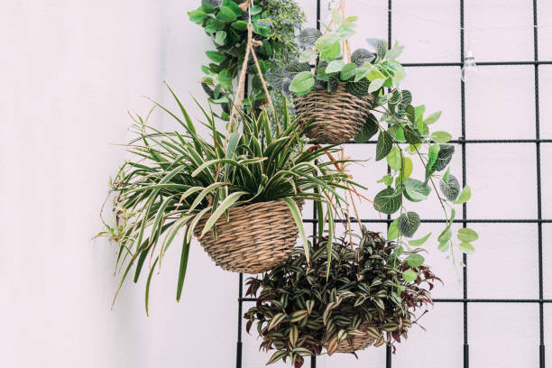 Hanging baskets with green plants Arrangement of hanging wicker flowerpots with green house plants against decorative black grid. houseplant stock pictures, royalty-free photos & images