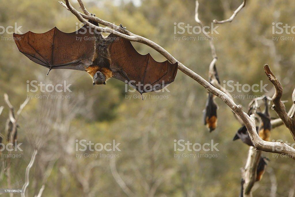 Hanging Bat stock photo