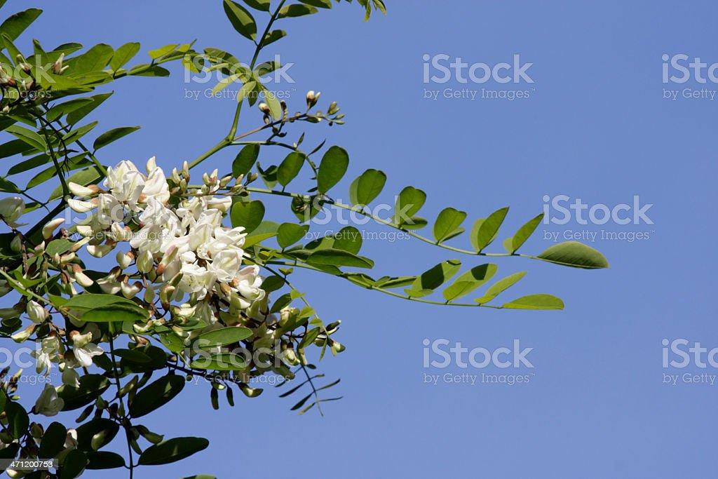 Robinia black locust tree dangling white flowers blue sky stock photo