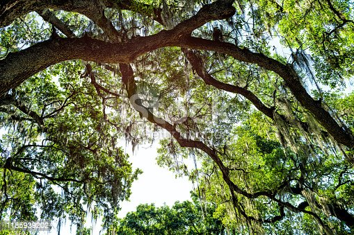 Hanging branches of old southern live oak trees in New Orleans Audubon park with spanish moss and green Tree of Life in Garden District in Louisiana city