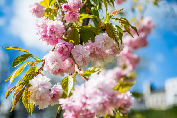 Hanging Cherry Blossoms. stock photo