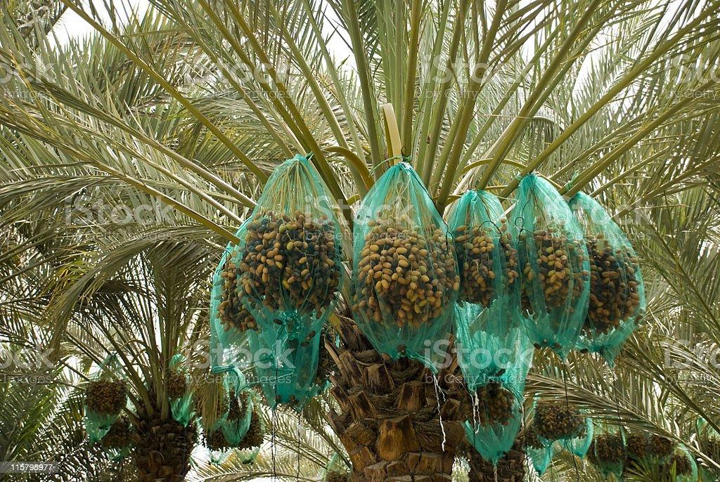 Hanging dates, Al Ain Oasis, United Arab Emirates royalty-free stock photo