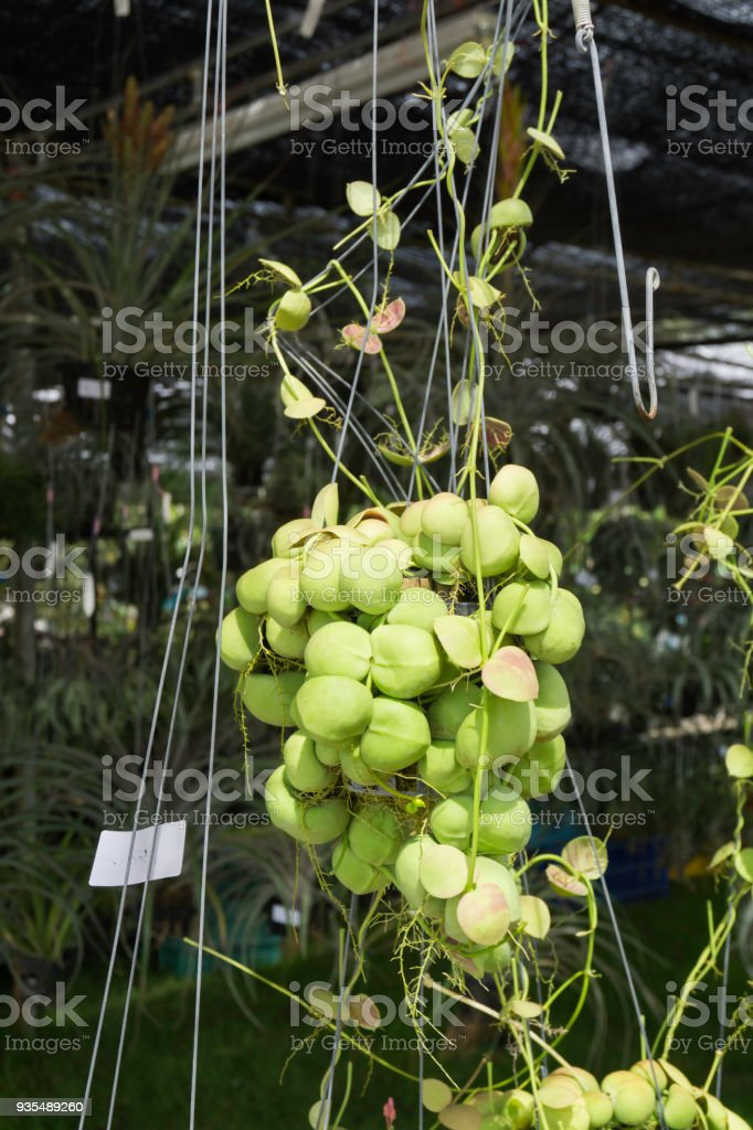 Hanging Dischidia plant for garden design stock photo