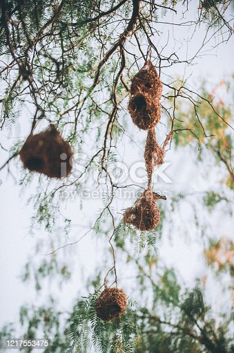 Hanging Finch nests with yellow finch, Karoo, South Africa