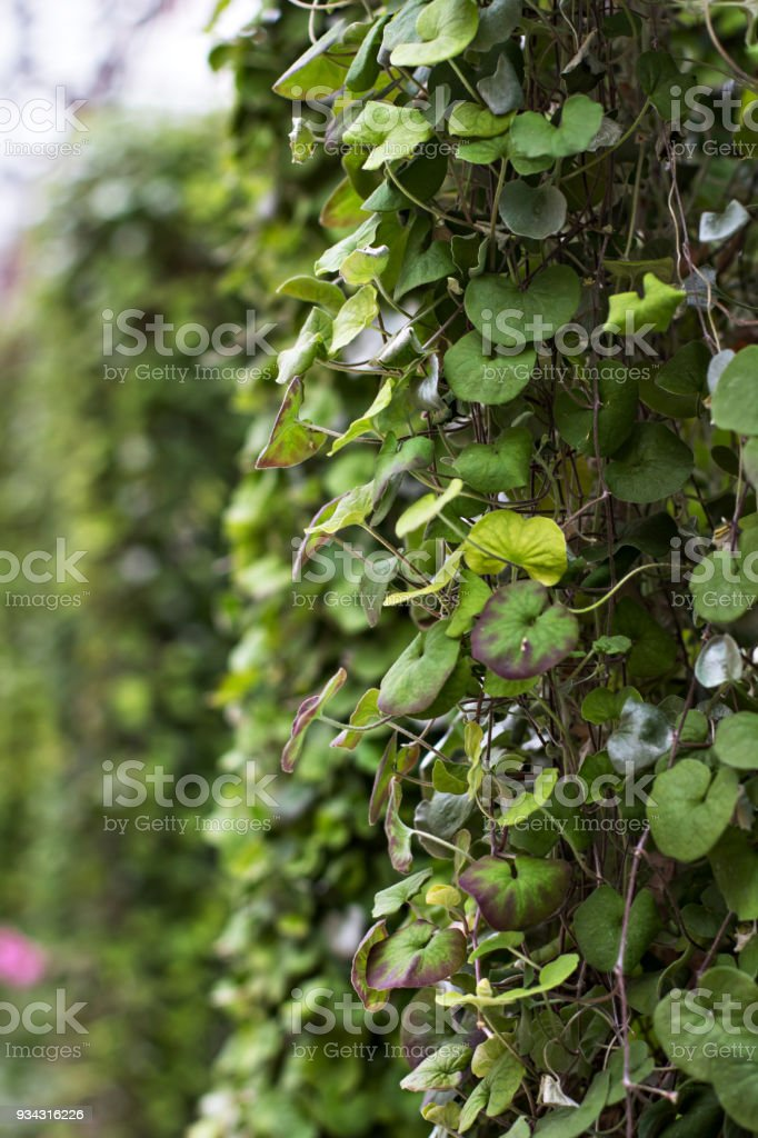 hanging flower with long stems stock photo