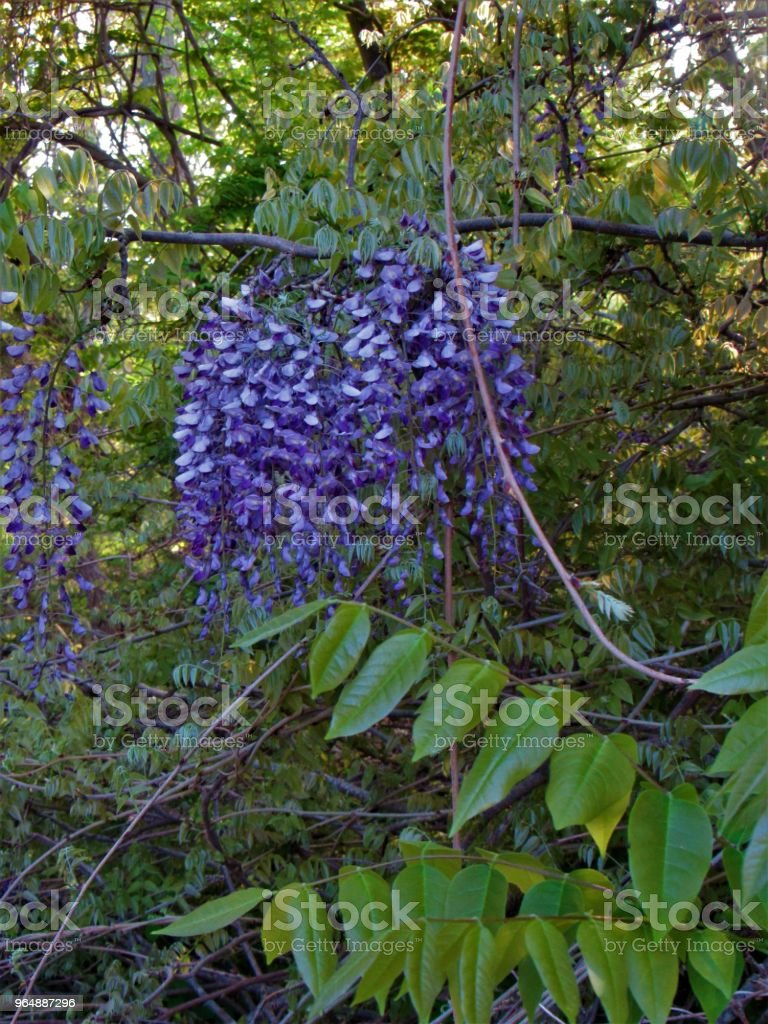 Hanging Flowers royalty-free stock photo