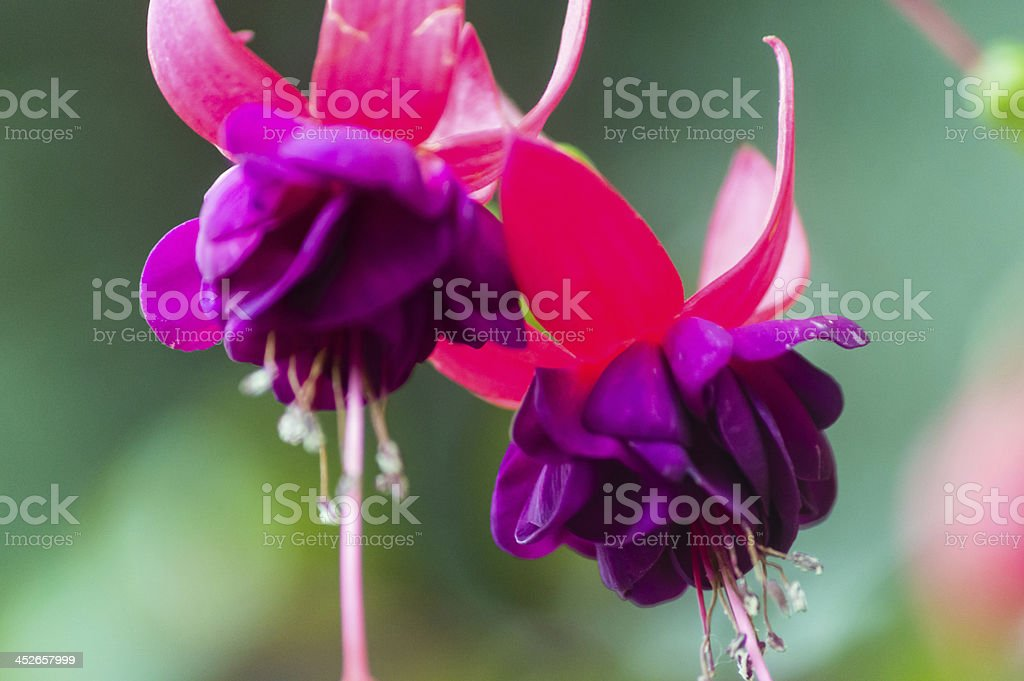 Hanging fuchsia blossom stock photo
