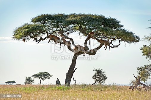 A large group of lions, silhouetted in the branches of a tree -  the big cats of the Big Five in the shade from the sun and flies but protecting its meal in Serengeti National Park, just one of the national park wildlife environments replete with numerous wild animals in Tanzania, Africa