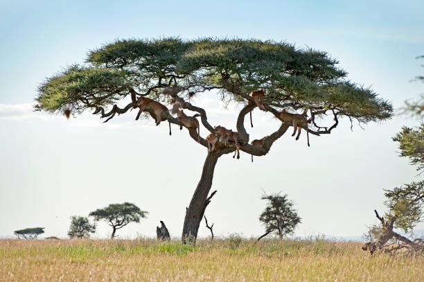 Hanging hunters lions in tree of the serengeti tanzania picture id1040494220?b=1&k=6&m=1040494220&s=612x612&w=0&h=byz3fx18ciplpkvlu4snjwn cy6zcg2sfbyuu0qjv4m=
