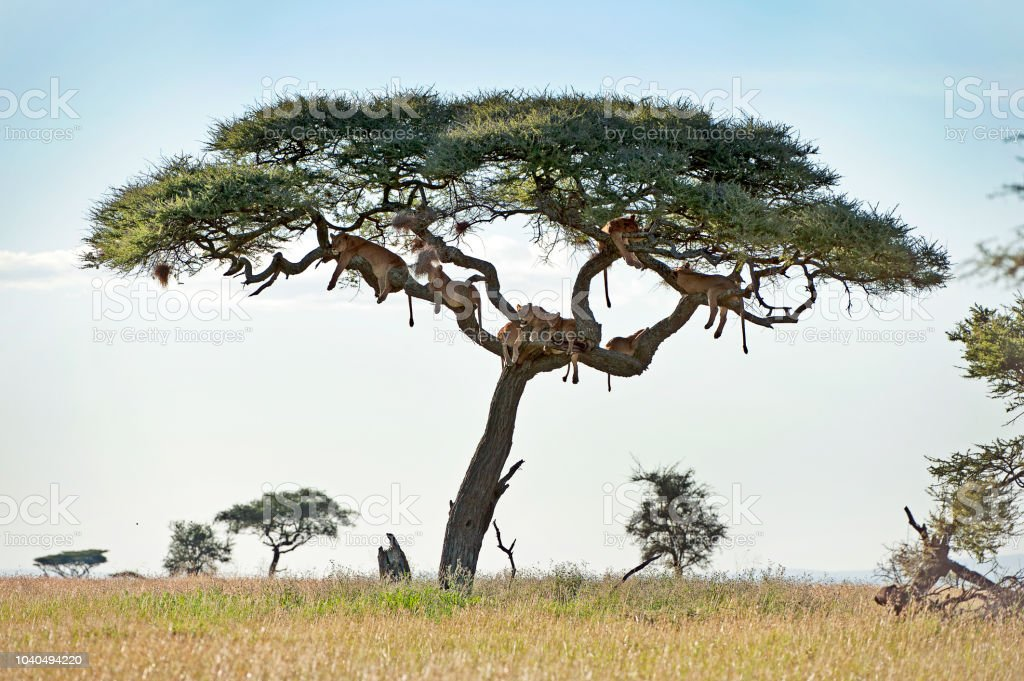Hanging hunters, Lions in tree of the Serengeti, Tanzania stock photo