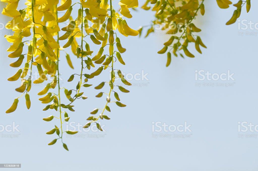 Hanging Laburnum royalty-free stock photo