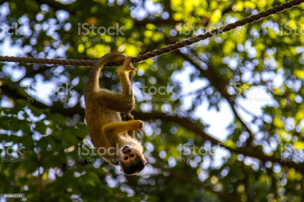 Hanging Monkey stock photo