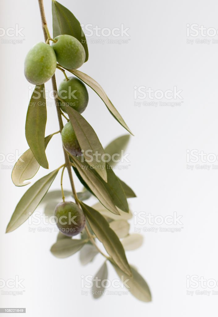 Hanging Olive Branch royalty-free stock photo
