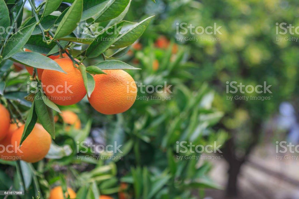 Hanging oranges on branch in the orange garden stock photo
