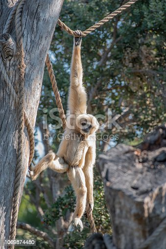 Gibbon hanging by one arm.