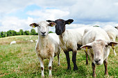 Cropped shot of sheep on a farm