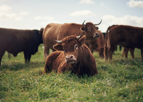 Shot of a herd of cows on a farm