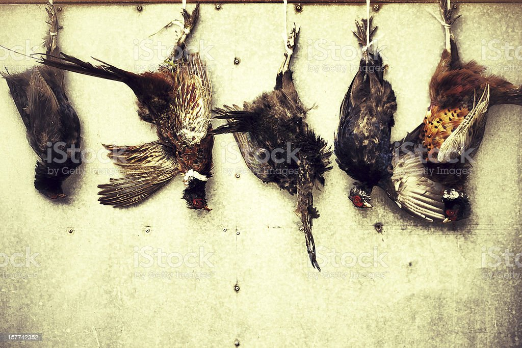 Hanging pheasants royalty-free stock photo