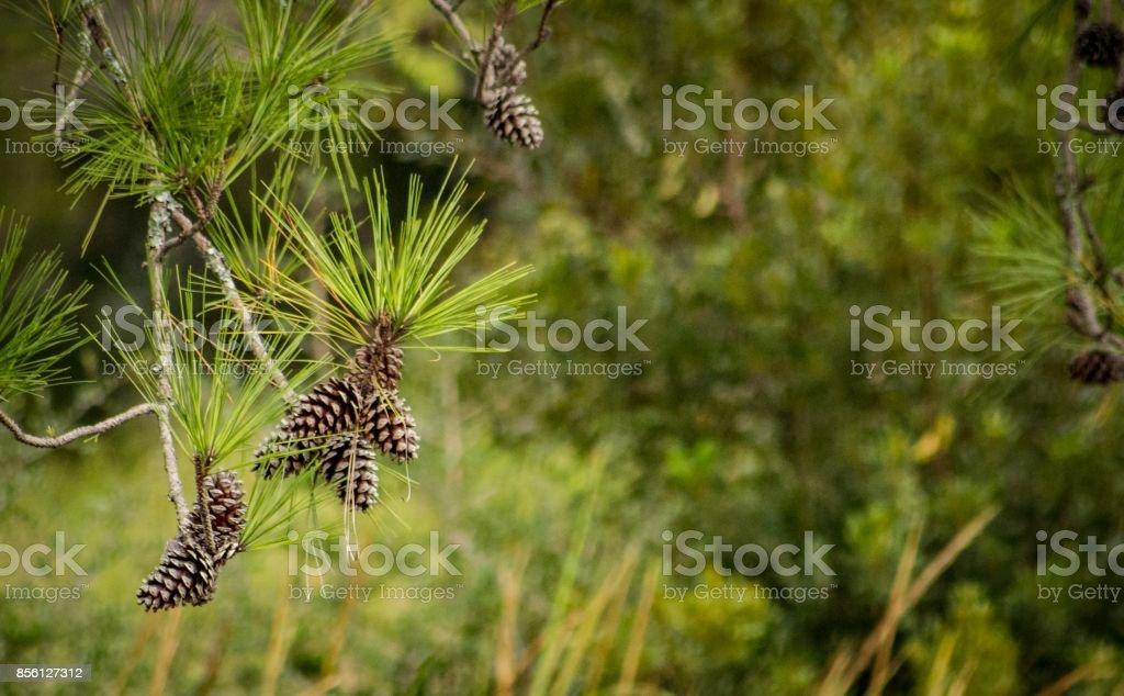 Hanging Pine Cones stock photo