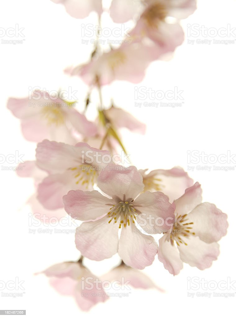 Hanging pink cherry blossoms isolated on white royalty-free stock photo