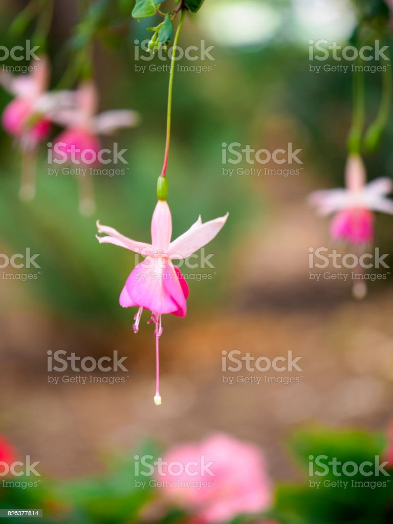 Hanging pink fuchsia flower stock photo more pictures of beauty hanging pink fuchsia flower royalty free stock photo mightylinksfo